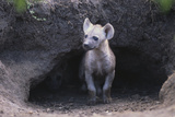 Spotted Hyenas Looking out from Den