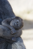 Baby Gorilla Sleeping in Mother's Arms