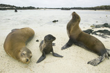 Galapagos Sea Lion Family