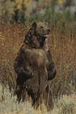 Grizzly Bear Standing in Meadow