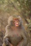 Hamadryas Baboon Baring Teeth
