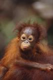 Orangutan Baby on Parent's Back