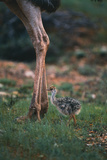 Ostrich Chick with Parent