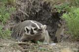 Badger near Den