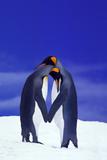 King Penguins Displaying Courtship Behavior