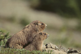 Olympic Marmots