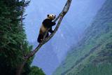 Giant Panda in Tree