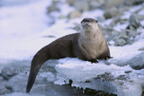 River Otter on Icy Riverbank