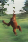 Orangutan Swinging through Forest
