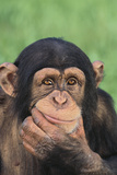 Chimpanzee Smiling