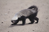 Ratel  or Honey Badger