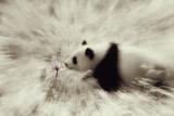 Panda Sniffing Lotus Blossom