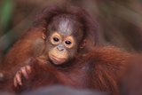 Orangutan Baby on Parent's Back