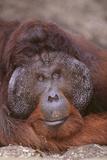 Pensive Orangutan Papier Photo par DLILLC