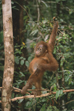 Young Orangutan in the Trees