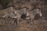 Three Grevy's Zebras