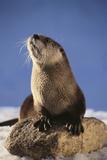 Alert River Otter