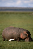 Hippopotamus and Cattle Egret