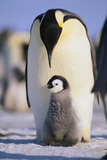 Emperor Penguin and Baby