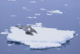 Crabeater Seals on Iceberg