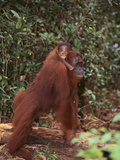 Orangutan and Baby in the Forest