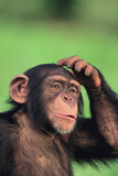 Chimpanzee Scratching Head
