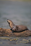 River Otter on Driftwood