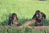 Chimpanzees Playing with Rocks and Sticks