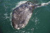 Gray Whale Breaching Surface of Water