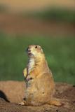 Alert Prairie Dog