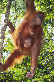 Orangutan and Baby Swinging in the Trees
