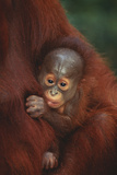 Baby Orangutan Holding onto Mother