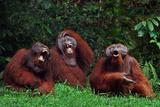 Orangutans Laughing Papier Photo par DLILLC