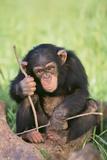 Chimpanzee Playing with a Stick