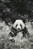 Panda in Forest