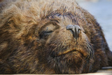 Close-Up of Sleeping Fur Seal