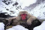 Japanese Macaque Relaxing in Hot Spring