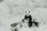 Panda Eating Bamboo Stalk
