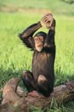 Chimpanzee Smashing Rocks