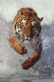 Tiger Running through Water