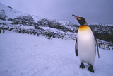 King Penguin at Colony on South Georgia Island