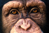 Chimpanzee's Eyes