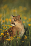 Mountain Lion Sitting in Wildflowers