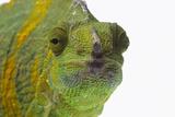 Meller'schameleon
