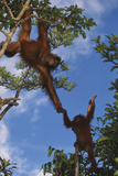 Orangutan Helping Youngster