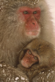 Japanese Macaque with Young