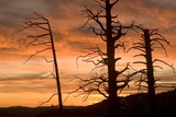 Dead Trees from Forest Fire in Foresta Area in Yosemite National Park