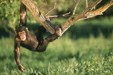 Chimpanzee Hanging from Tree