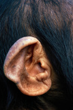 Chimpanzee Ear