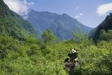Captive Panda Eating Bamboo at Wolong Nature Reserve